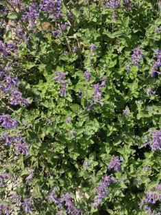 Fialový koberec květů voní aláká včely